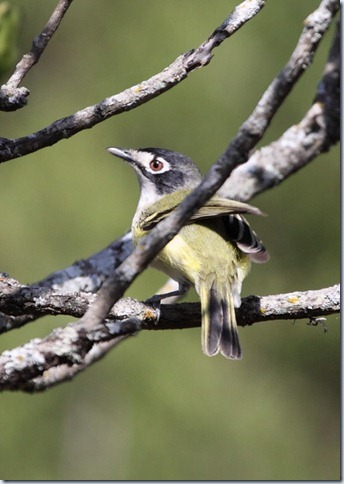 black_capped_vireo2