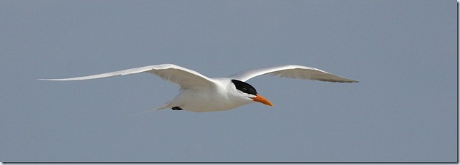 royal_tern7
