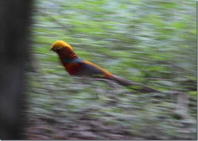 golden_pheasant