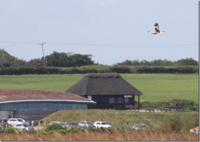 marsh_harrier_cley
