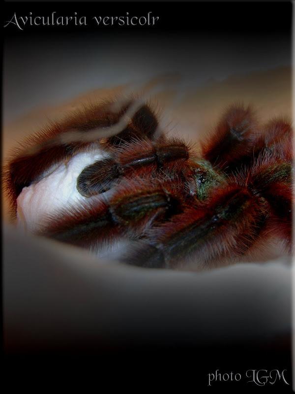 Avicularia versicolor kokon az 50. napon