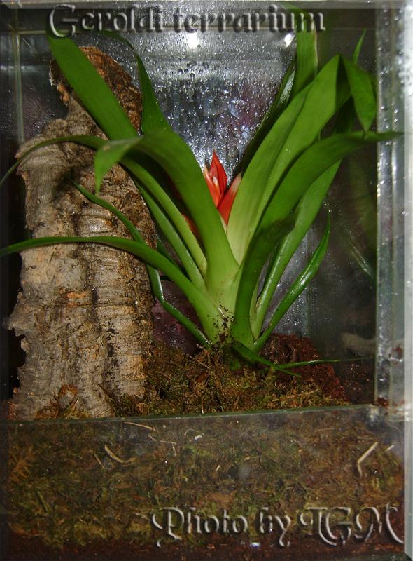 Avicularia geroldi terrárium