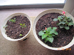 4 week snapdragons & coleus fresh-planted, 5 week impatiens from cuttings. V. chilly by that window, and not v. bright.