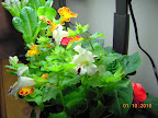 16 week mimulus, 6 week impatiens from cuttings. Maybe a bit too bright for the shady lady impatiens.