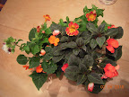 20 week mimulus, 10 week impatiens, from the impatiens side. Bowl overflowing with roots.