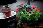 21 week mimulus, 11 week impatiens, carmen peppers 3 weeks from seed / 1 week from germination.