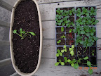 Hardening spinaches, lettuces, and some of the pansies. Tried planting out first of the spinaches today.