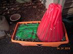 radishes and swiss chard around early girl tomato cloche