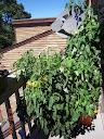 tomato growbox near its peak (after a storm, tho)