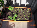 greens growbox2, spinach, beet, chard, toy choi