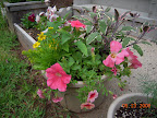 Mixed planter - calibrochoa are the peach oval-squashed mini-petunias. The minty-looking plant is the pineapple sage.