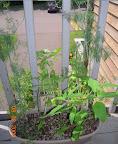 Herbs - dill, basil, oregano, pineapple sage.