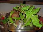 8 week Korean curl lettuces - harvested salad for 4 last night