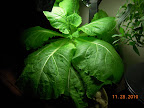 8 week chinese cabbage - harvested today
