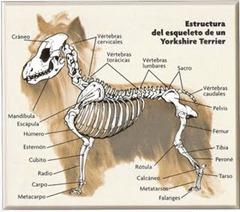 esqueleto_del_yorkshire