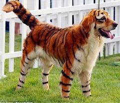 perro tigre