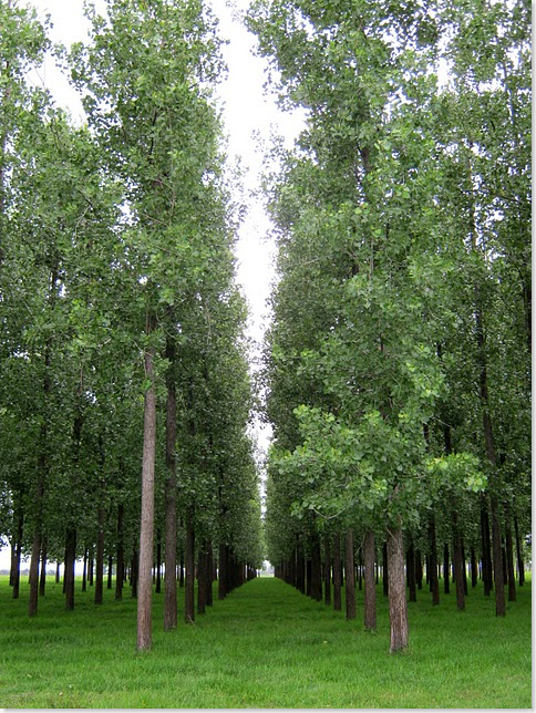 poplar plantation North Grafton