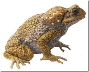 Cane toads