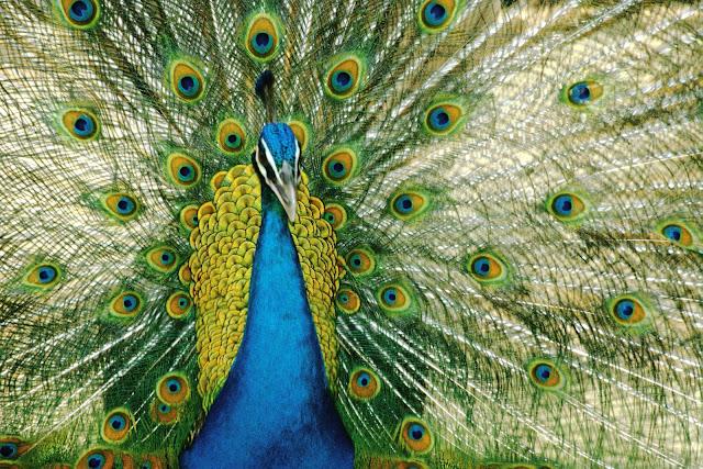 (Peacock),Wild Animals Wallpapers 1600×1067