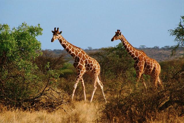 (Girafe),Wild Animals Wallpapers 1600×1067