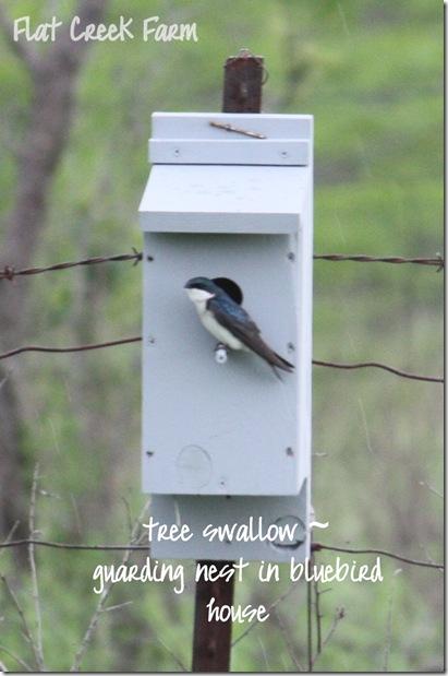 tree_swallow