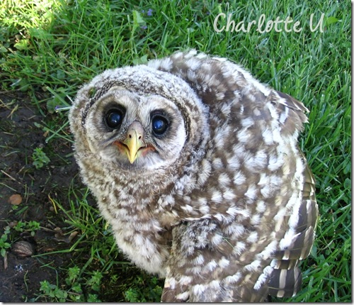 baby_owl1