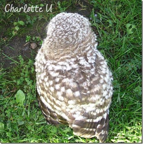 baby_owl3