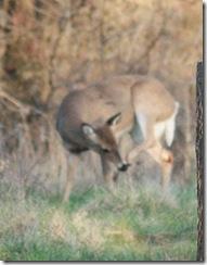 deer_itch