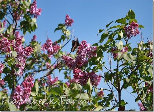 lilacs_butterfly1