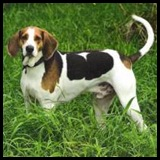 razaAmerican Foxhound
