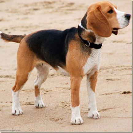Adiestramiento de perros beagles