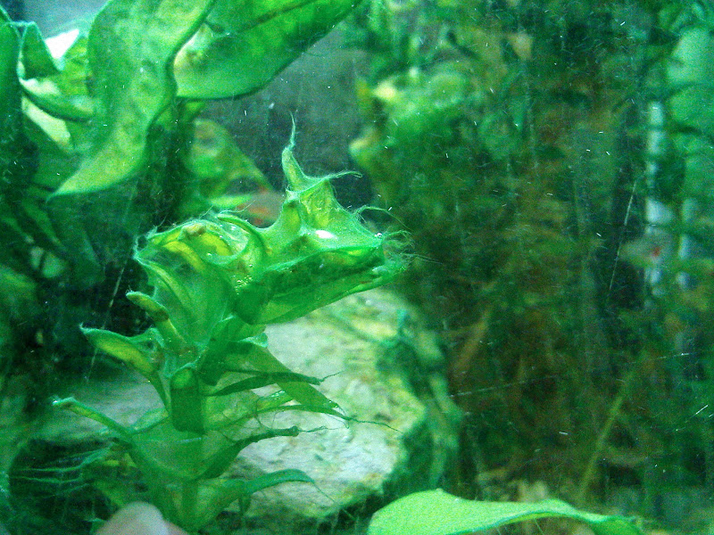 How To Remove Fuzz Algae From Plants Aquarium Advice
