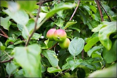 Äpple06