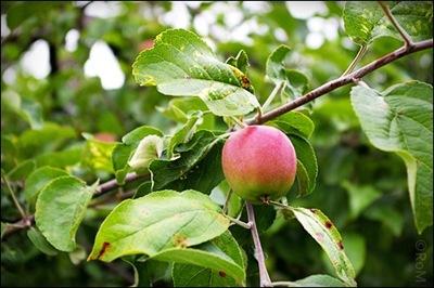 Äpple05