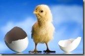 Цыплёнок2