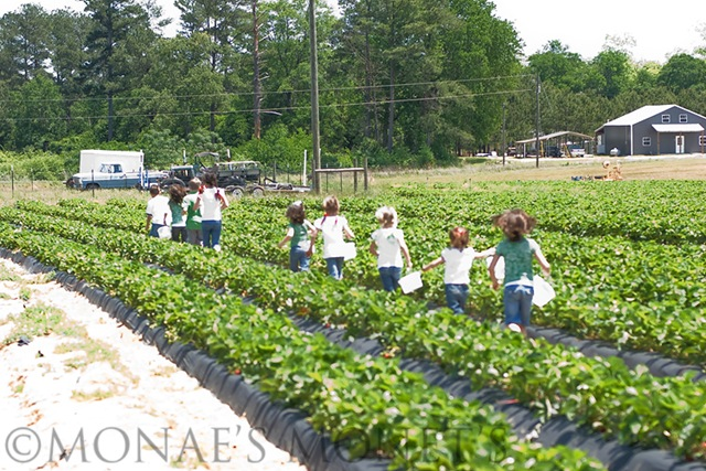 Group off to pick strawberries blog