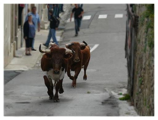 """bous al carrer"" P1190999"