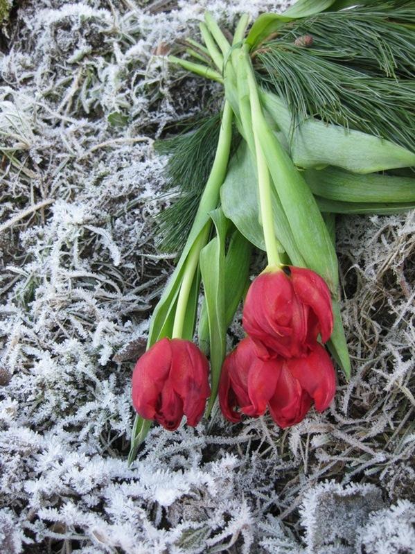 2008-12-26 Tulipaner på komposthaugen (4)