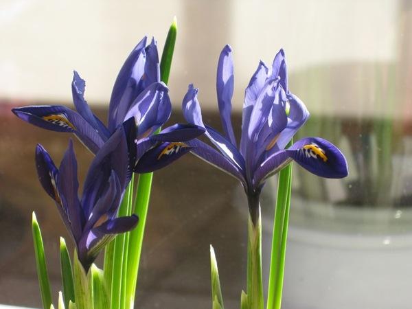 2009-03-11 Blomster i leiligheten (2)
