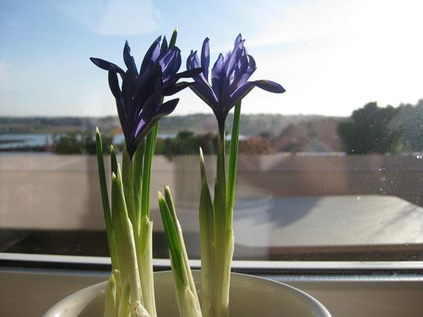 2009-03-11 Blomster i leiligheten (5)