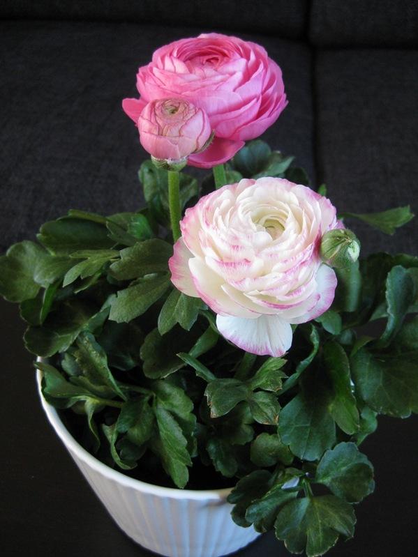 2009-03-11 Blomster i leiligheten (16)