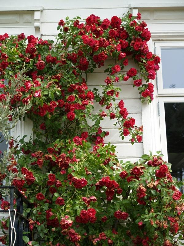 2010-07-21 Rosa 'Flammentanz' (5)