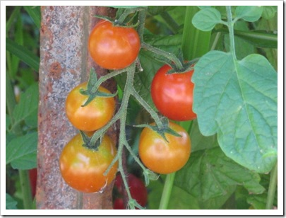 tomatoes_on_vine