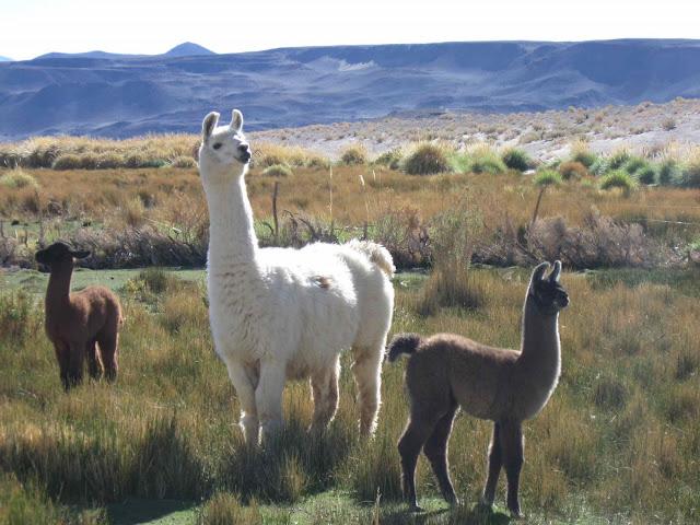 LEJARRETA EN LOS ANDES (2009) Llamas