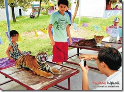 china-tiger01