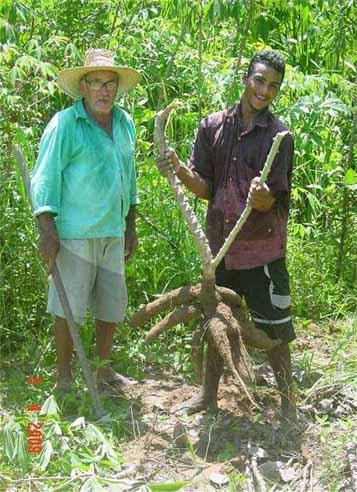 Produção de macacheira satisfaz agricultores.