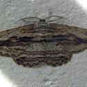 Scioglyptis Moth - male