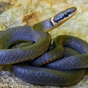 Ring-necked Snakes