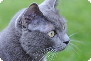 Gray cat on green grass