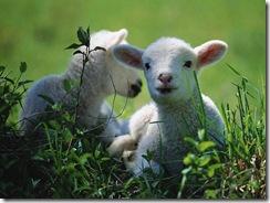 Real Lambs